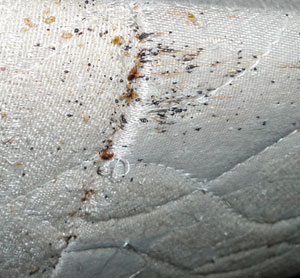 Bed Bug Droppings Poop Feces 2018 Updated